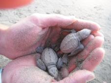 Baby turtles... so cute