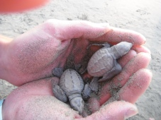 Baby turtles... so cute