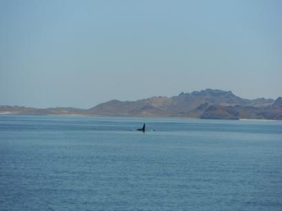 Whales in Bahia La Paz