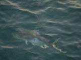 Huge fish circling out boat
