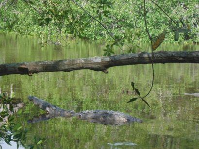 Hungry Croc
