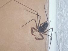 Whip Spider - scorpion eater....