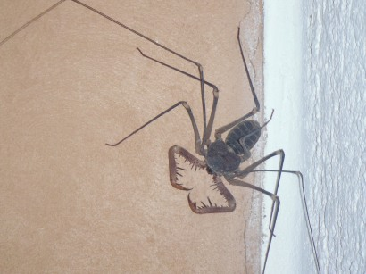 Whip Spider - scorpion eater....