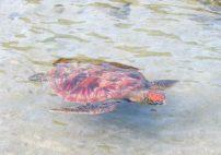 Turtle on Taha'a