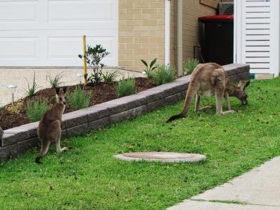 Suburban kangaroos