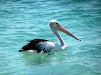 Pretty pelicans everwhere